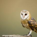 Wild Bird Licences